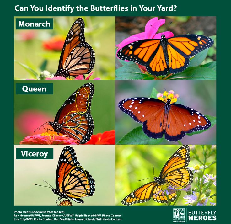 Don't let these monarch look-alikes fool you! Improve your skills with our identification guide and quiz. #monarchs #butterflies #aprilfools