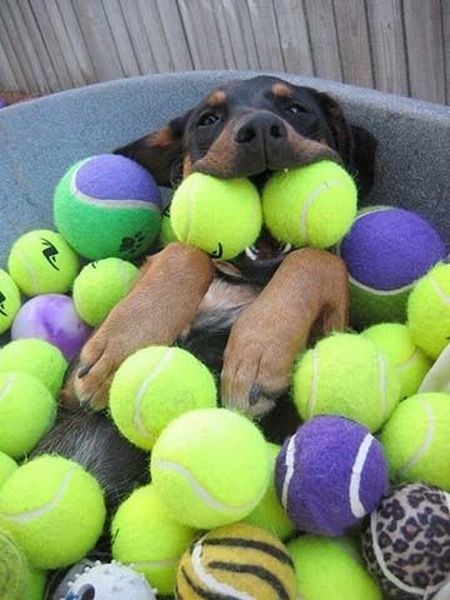 @marie crowder: Pet, Dogs Heavens, Happy Dogs, Ball Pit, Dreams Coming True, Happy Puppies, Tennis Ball, Animal