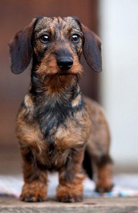 Wirehaired Wire Haired Dachshund Doxie #Puppy #dog