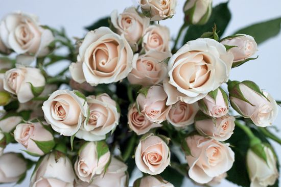 Pale pink white majolica (majolika) spray rose at New Covent Garden Flower Market