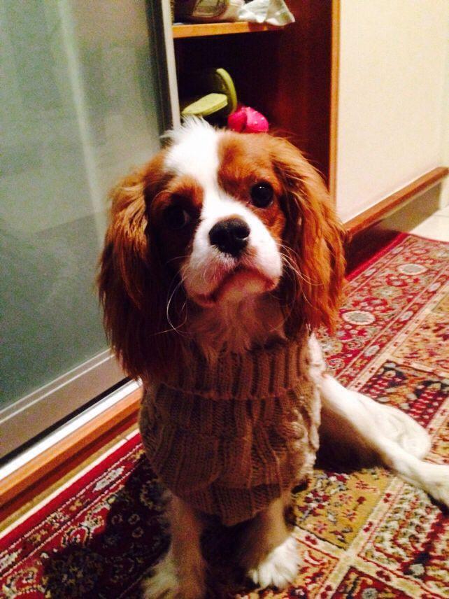 Můj Pejsek Charlie A Jeho Nový Šedý Pletený Svetřík Svetříček/My Dog Charlie And His New Grey Sweatshirt