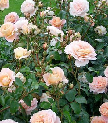Rosa x floribunda Sangerhauser