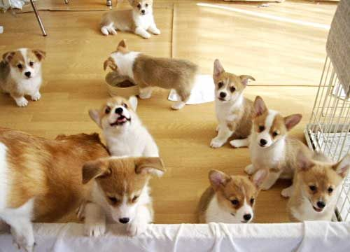 A roomful of Corgis • from ... APlaceToLoveDogs.com • costume dog dogs puppy puppies cute doggy doggies funny photography