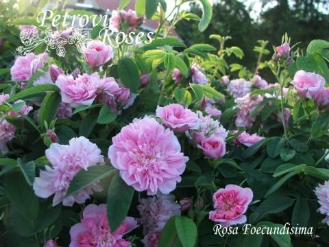 Rosa Foecundisima | Petrovic Roses