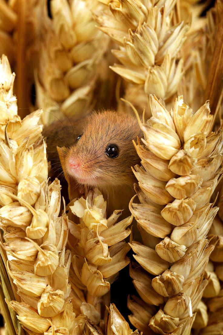 """A Harvest Mouse: """"Oh crumbs! Hope Farmer Giles doesn't see me in here!"""""""