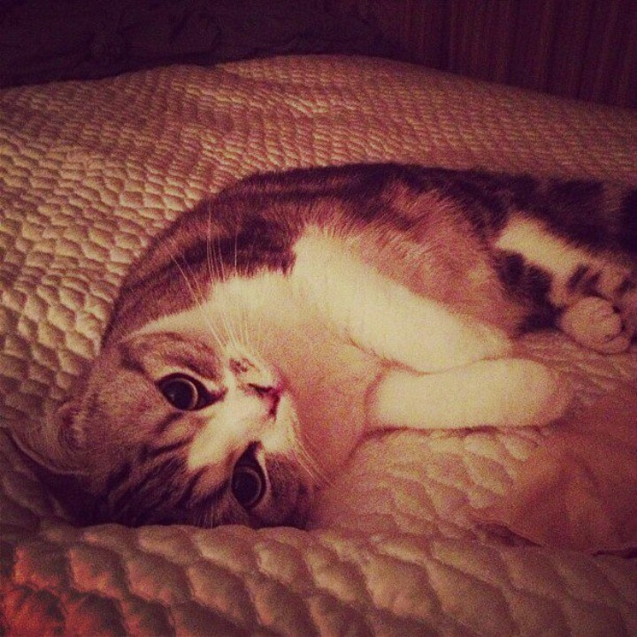 Taylor Swift's Cat, Meredith. The cutest cat on the internet!