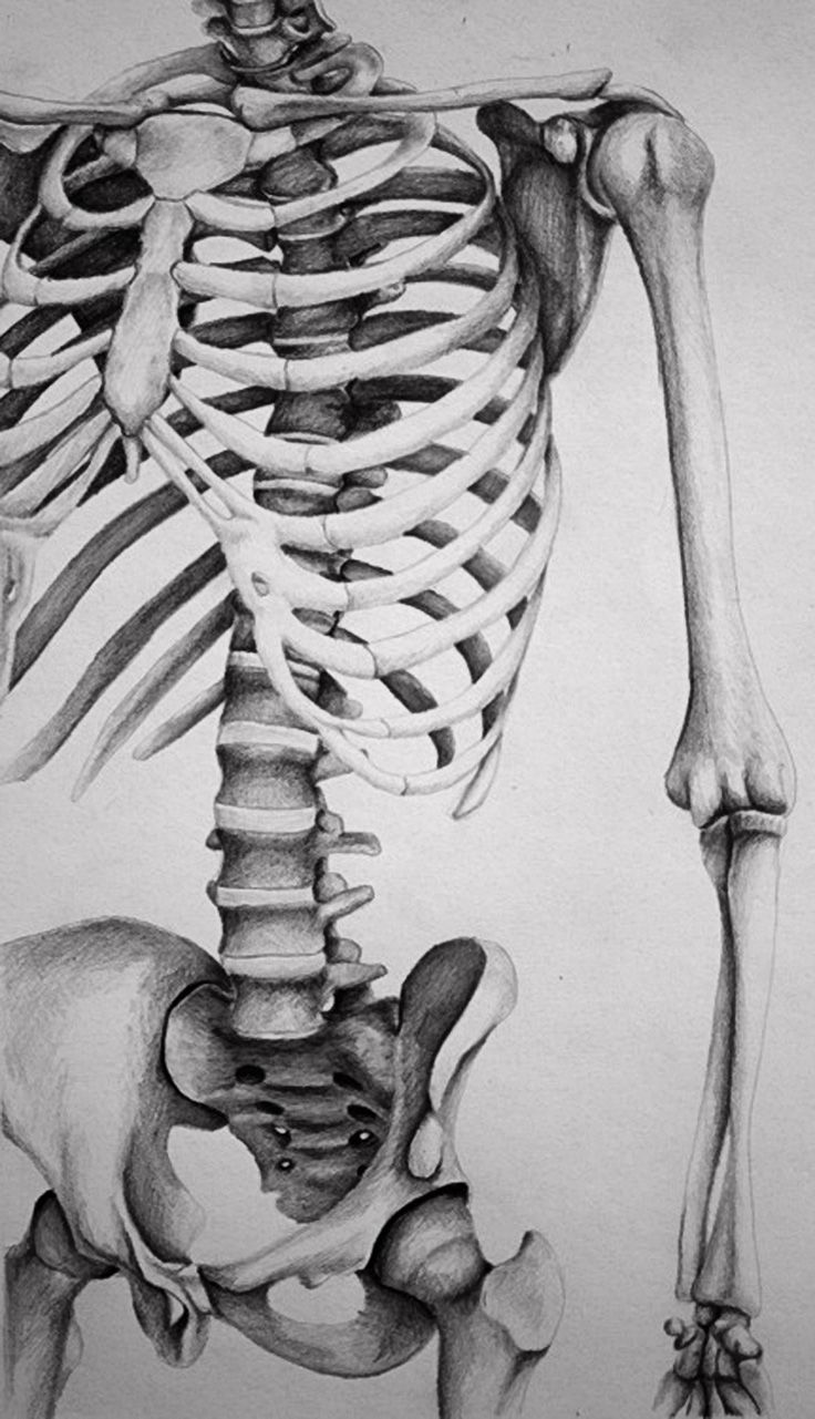 Skeletal torso by Melissa B, pencil drawing