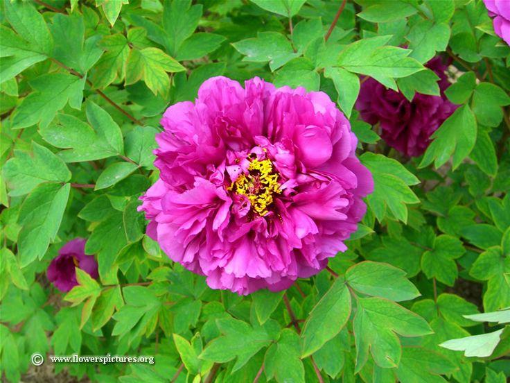 Types of Purple Flowers   Purple tree peony flower picture, Photo #1357, Image size: 800 x 600