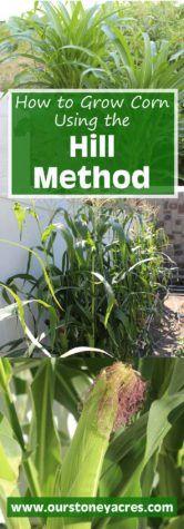 Growing Corn Using the Hill Method