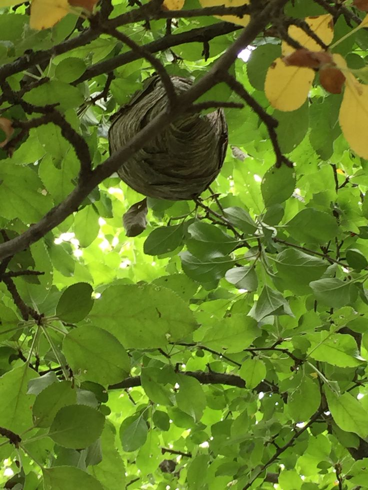 Wasp nest in a pear tree Plant leaves, Tree, Plants