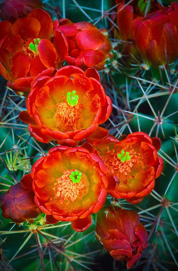Blooms of a spiked cactus Claret Cup.