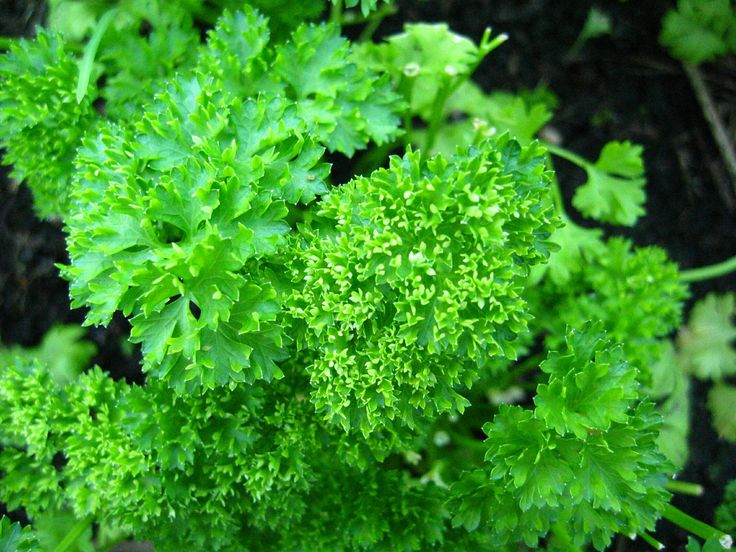 Parsley! Sun loving, drought tolerant, and nutrient rich, with more vitamin C than an orange. Performs well as a companion plant to asparagus, tomatoes, corn, and even roses. Curly-leaf parsley is particularly pretty and adds bright flavor to a wide variety of cuisines.