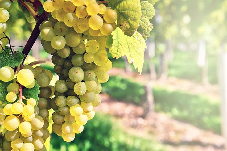 Difference between Pinot Grigio, Pinot Gris and Pinot Blanc