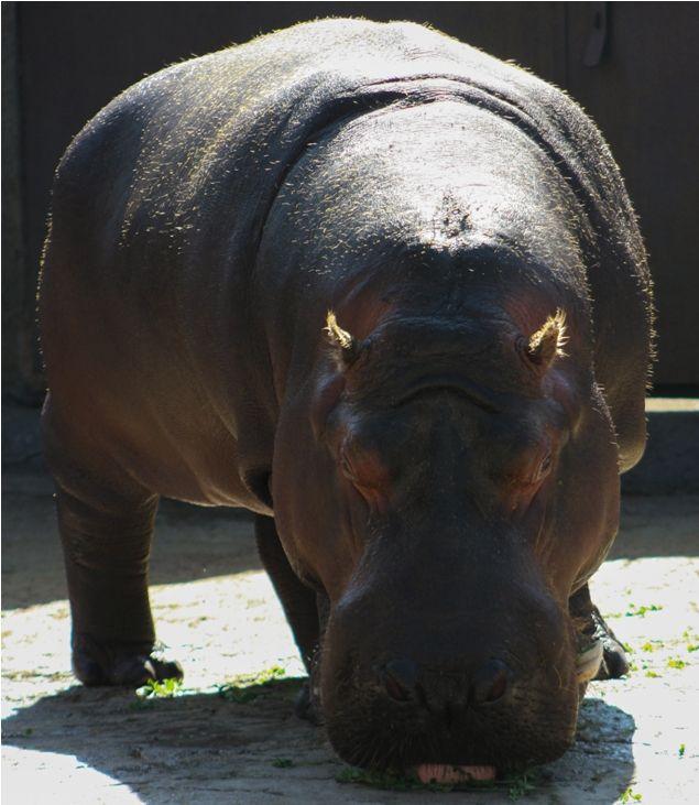 El Hipopótamo es uno de residente más del Zoológico de Aragón.