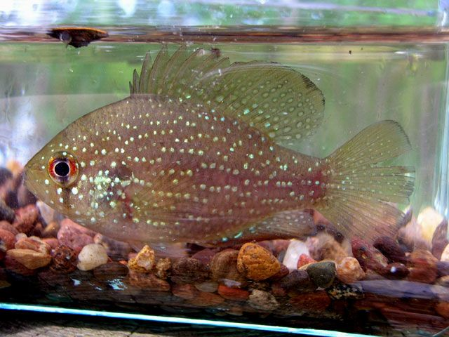 (blue spotted sunfish) - temperate fish: Temperance Fish, Blue ...