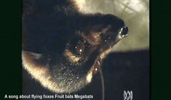 A song about flying foxes Fruit bats Megabats video song about #megabats #flyingfox #fruitbat #flyingfoxes #fruitbats  ;)