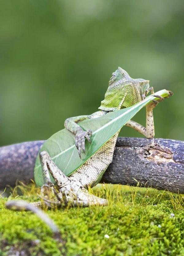 【驚き】ええっ、なにこの人間的なポーズ!!激写されたトカゲがまるでギターを弾いているみたい