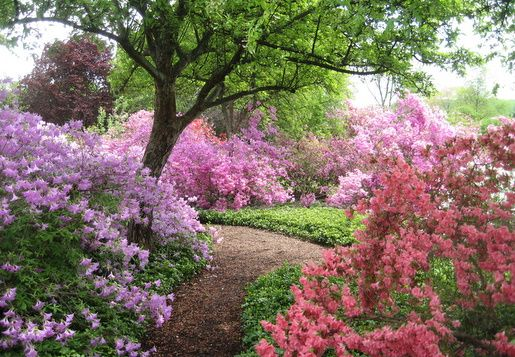 Azaleas in bloom at the Ladew Gardens in Monkton, MD.