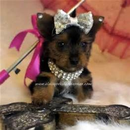 teacup yorkie for adoption in florida