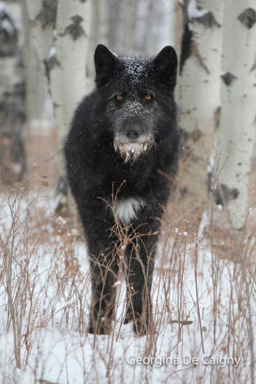 "naturepunk: "" canineinformed: "" naturepunk: "" curling-up-like-smoke: "" naturepunk: ""  - Horton is a low-content Irish wolfhound / timber wolf mix. He was rescued from a hoarder in Milk River who kept more than 201 animals (mostly non-wolfdogs) in squalor."