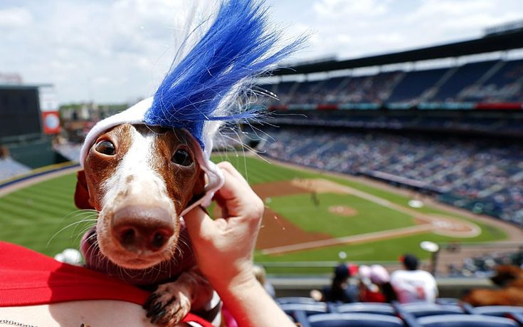 Lilly the dachshund dons an Atlanta Braves mohawk wig  while attending the Bark in the Park event as the Atlanta Braves host the Cincinnati Reds at Turner Field in Atlanta, Georgia