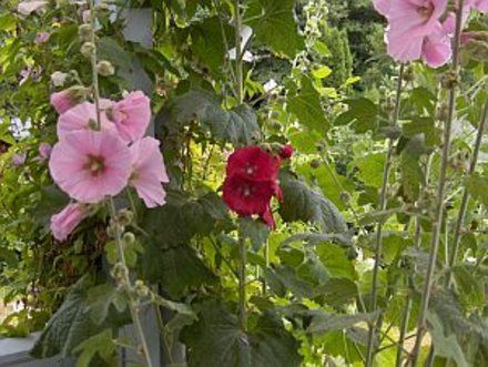 How to Grow Hollyhocks | Garden Guides