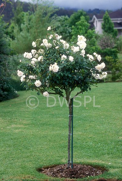 Roses In Garden: A ROYALTY FREE IMAGE OF: STANDARD ICEBERG ROSE IN GARDEN