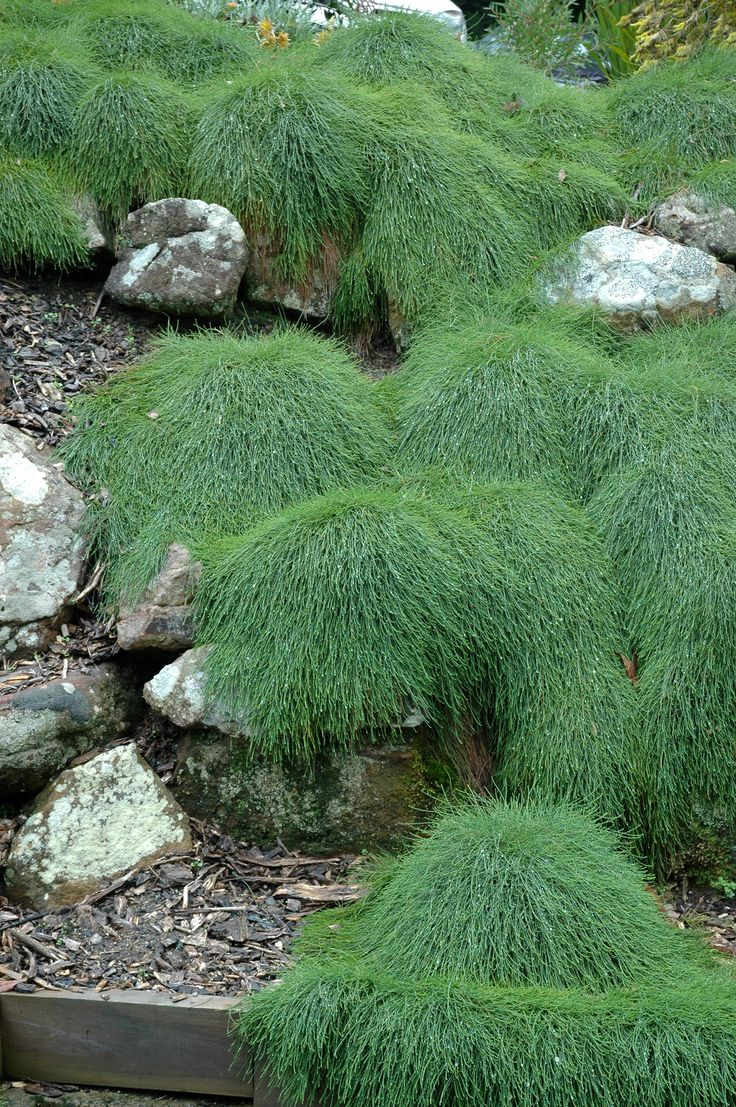 Plantworld | Wholesale Nursery | Wholesale Plants | Plants - Shrubs :: Casuarina 'Cousin It' 175mm