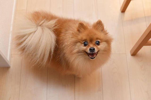 🐾 おはよー #笑顔 . #ポメラニアン #ぽめ #犬 #わんちゃん #たぬき #愛犬 #ポメラニアンが世界一可愛い #犬バカ部 #ふわもこ部 #カメラ女子 #カメラ日和 #ファインダー越しの私の世界 #写真好きな人と繋がりたい #写真部 #写真撮ってる人と繋がりたい #犬好きな人と繋がりたい #ポメ部 #Nikon #puppy #happy #pomeranian #pom #pomeranianworld #dog #Instadog #petstagram #tagsforlikes #멍스타그램 #개스타그램