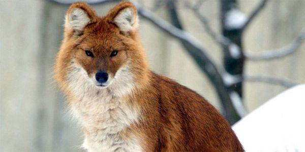 Красный или горный волк - Редкие животные из красной книги