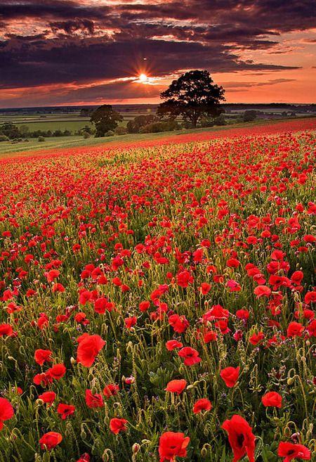 Poppy Field Sunset, Oxfordshire, England