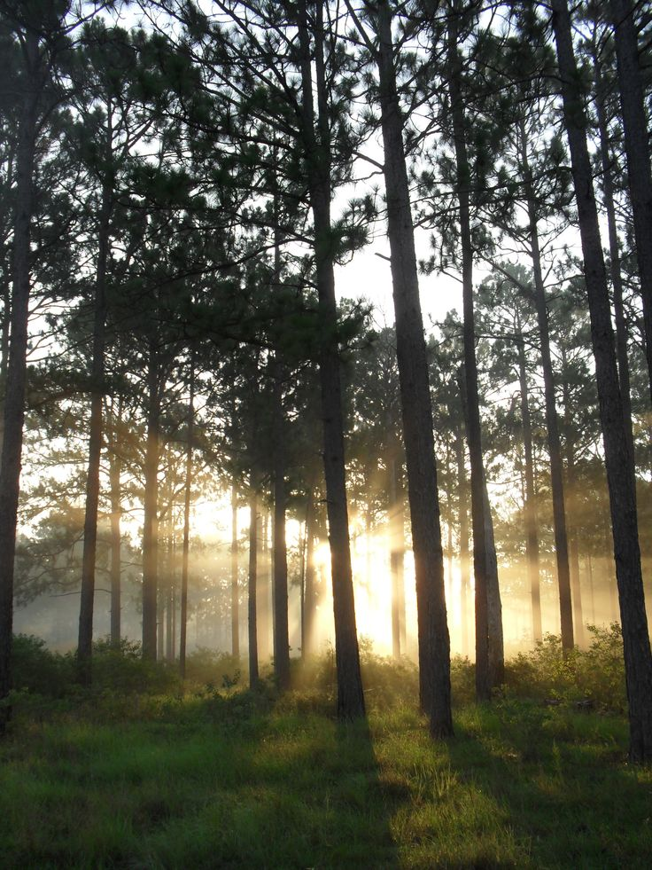 One of my favourite Piney Woods photos.  The longleaf pine stand near our old home in Dry Creek, Louisiana.