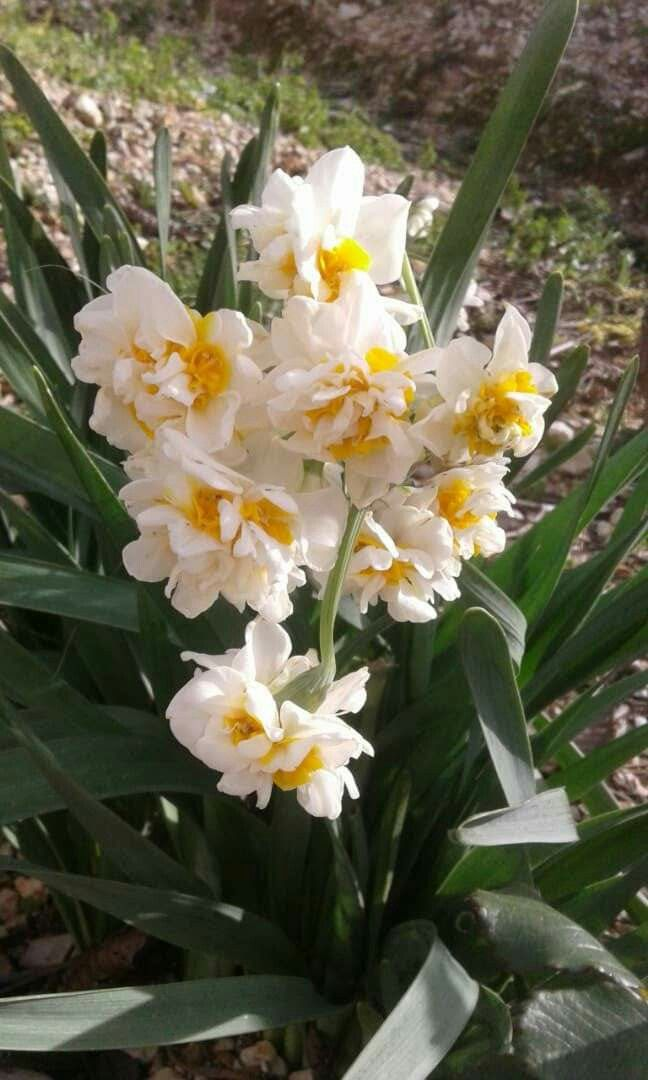 Daffodil Flowers From Syria The Land Of Beauty زهرة النرجس من الساحل السوري Daffodil Flower Beautiful Flowers Daffodils