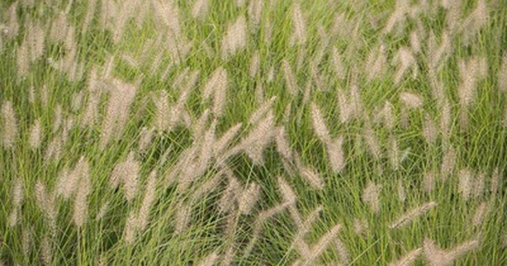 Como remover e se livrar de espécies de erva daninha como o capim-colchão. O capim-colchão e o azevém são espécies de ervas daninhas de crescimento rápido. Elas podem invadir um gramado e sufocar a grama. Removê-las à mão quando as observar é uma forma de cuidar do problema. No entanto, removê-las completamente uma vez que tenham tomado conta do gramado significa ter que tomar medidas drásticas. A erradicação dessas e de ...