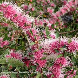 Hakea myrtoides x petiolaris Burrendong Beauty has stunning small red flowers with pink stamen that cover the plant prolifically from mid winter. A semi-prostrate shrub, ideal for rockeries. It does not tolerate humidity however it can tolerate slight frosts. Prefers a full sun to par...