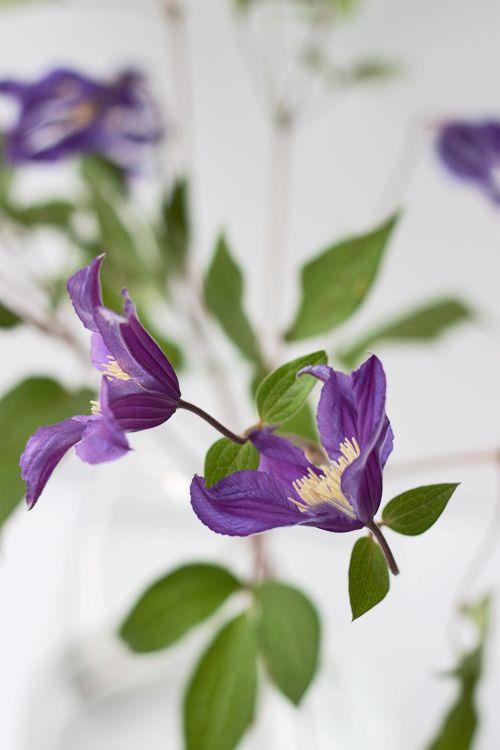 Purple / blue clematis - Blue Pirouette - cut flower