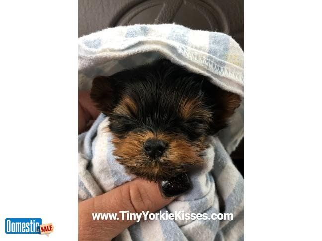 Teacup Yorkie Puppies For Sale Local In The Bay Area Yorkie