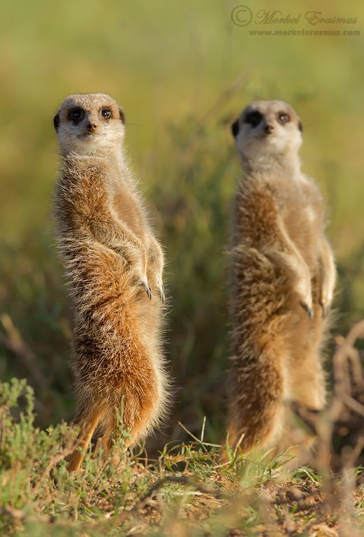 Meerkats (Suricates) in the Karoo desert, South Africa