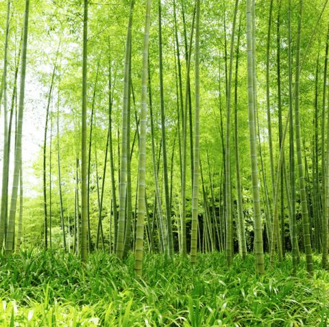WALL MURAL INFO: Brighten any room with the Bamboo Stalks wall mural from Eazywallz.com....