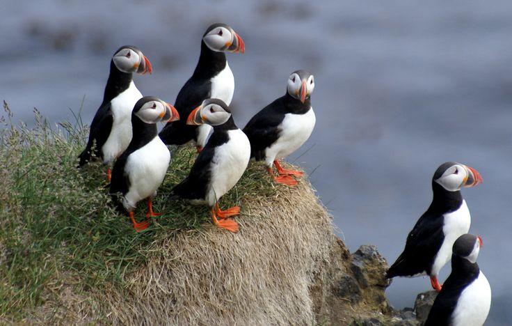 Les oiseaux marins. Réserve naturelle des Sept-Iles - Ligue Protection Animaux