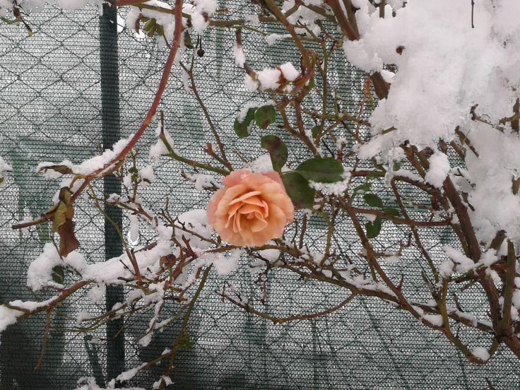 B&B Residenza Guglielmi Campobasso Una rosa in una giornata di neve