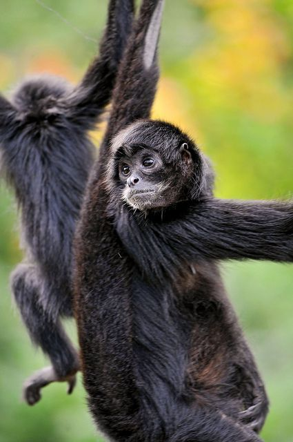 Black spider monkey by Tambako the Jaguar, via Flickr