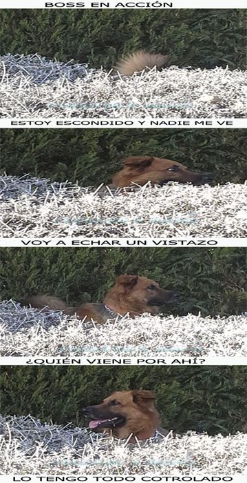 Boss mi perro en acción, https://www.facebook.com/pages/Ideando-a-Mano/1375774522677969?ref=hl #photo