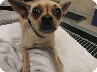 Jurupa Valley, CA - Chihuahua. Meet Dog, a dog for adoption. http://www.adoptapet.com/pet/18225178-jurupa-valley-california-chihuahua