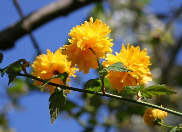 the 25+ best arbuste fleur jaune ideas on pinterest | arbuste a