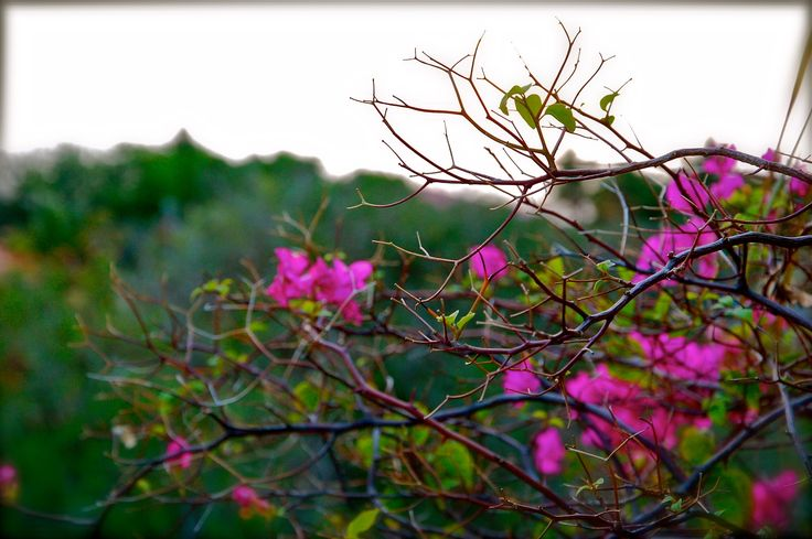 Bougainvillea - Bougainvillea has to be one of my favorite tropical blooms, this photo taken on the tiny island of St. Barth's, French West Indies.