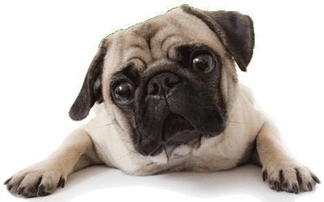 perro pug - Buscar con Google