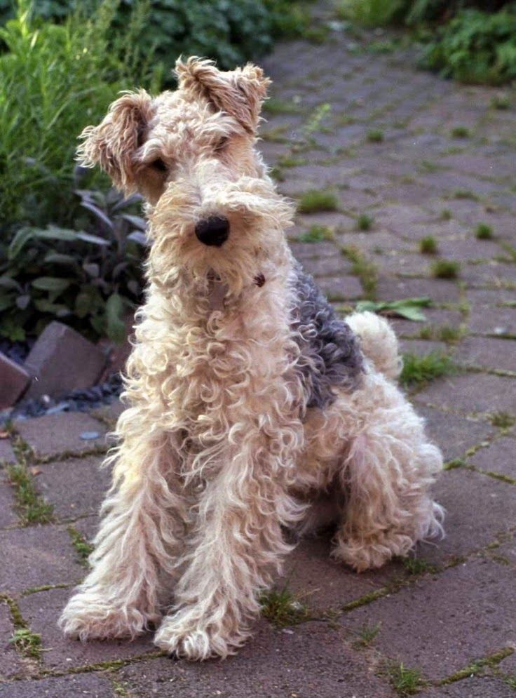 Wire-haired terrier.