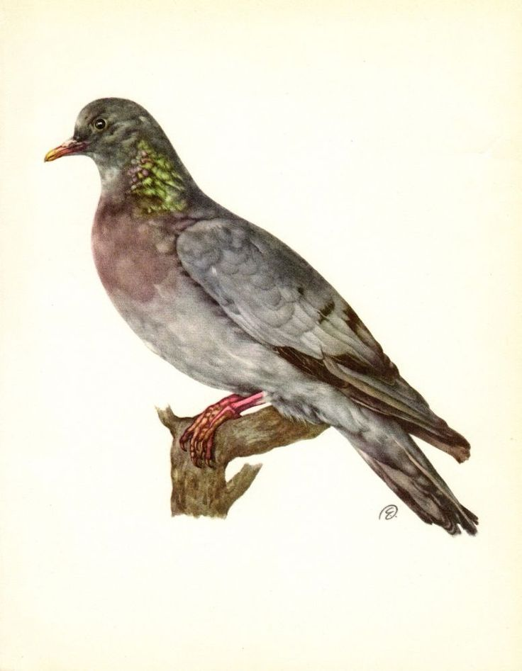 Vintage STOCK DOVE Bird Print Rustic Cabin Decor Bird Wall Art faf 2634 #Vintage