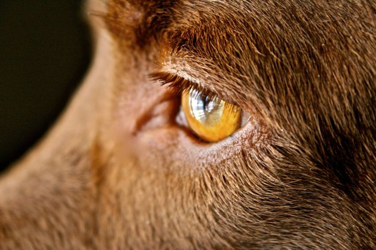 Wise eyes. Must have lived many life times.Dogs Dogs, Chocolat Epic, Pets Pinterest, Brown Chocolat, Hot Pin, Furries Friends, Dogs Shots, Chocolates Labs, Harmony Pin